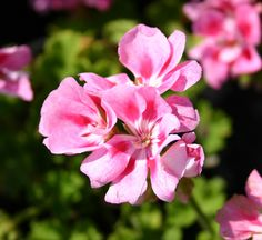 Rocky Mountain Light Pink Geranium