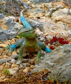 teal lizard in Curacao