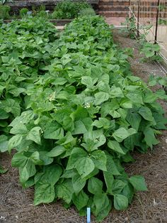 You do not need to trellis bush snap beans, so they are good for smaller gardens.