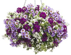 Evening Breeze | Proven Winners-1 Superbells® Evening Star Calibrachoa, 1 Snowstorm® Snow Globe® Bacopa, 1 Superbena® Royale Plum Wine Verbena