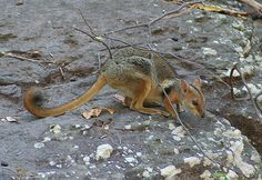 Petrogale Brachyotis - Kakadu National Park - Short-eared Rock-wallaby