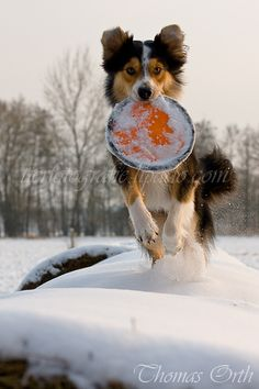Winter, Hund, Sprung Corgi, Animals, Emotional Photography, Pet Dogs, Animales, Corgis, Animaux, Animal, Animais