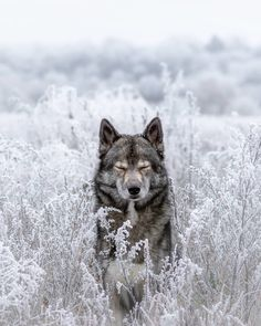 Wolf look alike Siberian Husky Mainz, Germany Nature Animals, Animals And Pets, Baby Animals, Cute Animals, Animals In Snow, Wild Animals, Funny Animals, Wolf Love, Beautiful Creatures