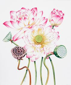 Lotus Botanical Illustration-0