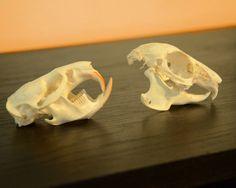 Two Muskrat Skulls by TheGreenClock on Etsy