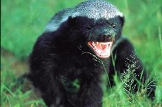 Honey badgers are notoriously fearless and tough animals, having been known to savagely attack their enemies when escape is impossible. They are tireless in combat and can wear out much larger animals in physical confrontations