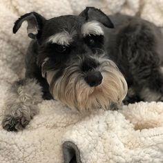Standard Schnauzer, Mini Schnauzer, Miniature Schnauzer, Baby Dogs, Pet Dogs, Dogs And Puppies, Mountain Dogs, Bernese Mountain, Adoptable Beagle