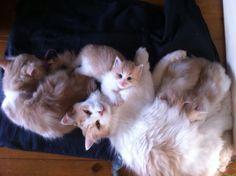 5 x creme tabby white siberian cat
