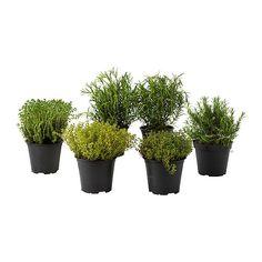 ÖRTIG  Potted plant, herbs, assorted  £2.39