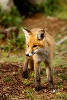 Red Fox by Ernst Vikne