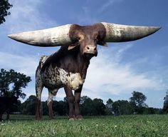 A Watusi steer named Lurch still holds the world record for largest circumference horns. At their peak, each horn was 38 inches in circumference and weighed over 100lbs!