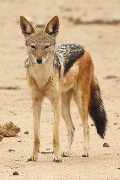 Black-backed jackal standing, three-quarter view