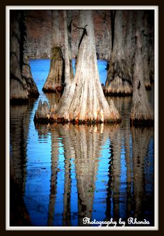 Old cypress trees w/ reflection