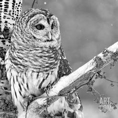 White Owl Photographic Print at Art.com