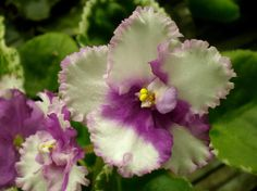 African Violet  | eBay Lyon's Cherry Vanilla (S. Sorano) Semidouble white frilled pansy/light pink to fuchsia eye, shaded edge. Variegated medium green and cream, plain. Standard