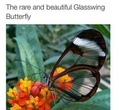 """I thought it was fake but guess not: The wings are transparent, with a span of 5.6 to 6.1 cm (2.2 to 2.4 in). The butterfly's most common English name is glasswinged butterfly, and its Spanish name is """"mariposa de cristal,"""" which means """"crystal butterfly"""". The tissue between the veins of its wings looks like glass, as it lacks the colored scales found in other butterflies. The opaque borders of its wings are dark brown, sometimes tinted with red or orange, and its body is dark in color."""