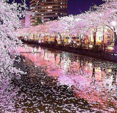Hanami festival - Japan