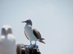 Piquero Patas Azules, Galápagos. Ecuador