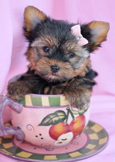 Yorkie Puppy by TeaCups, Puppies & Boutique