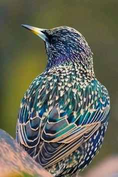 European Starling Spreeuw