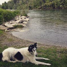 Azu in Ticino river. #AskAzu  #Borzoi