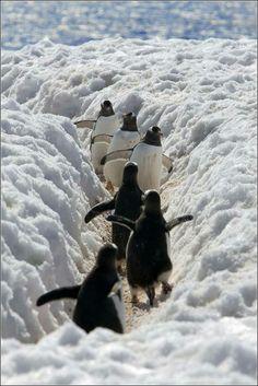 Pinguins :)