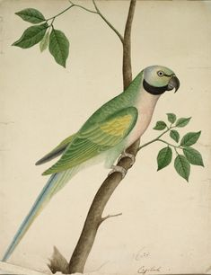 India, East India Company School, century, opaque watercolor on paper, Overall: x cm x 11 inches). Bequest of Edgar A. Pichwai Paintings, Indian Paintings, Mughal Paintings, Parrot Painting, East India Company, Cleveland Museum Of Art, Cleveland Ohio, Indian Artist, Bird Illustration