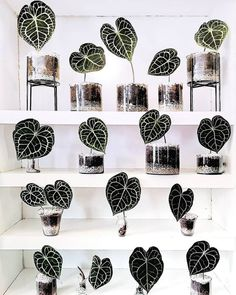 Tag a Friend to share some inspiration us olivra.houseplants us olivra.houseplants by sogreenmx Green Plants, Tropical Plants, Potted Plants, Indoor Plants, House Plants Decor, Plant Decor, Planting Succulents, Planting Flowers, Plant Aesthetic