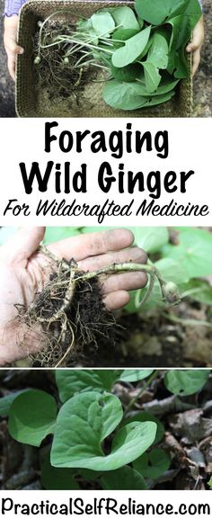 Foraging Wild Ginger Foraging Wild Ginger ~ Wildcrafted Medicine also called Asarum canadense in the East Healing Herbs, Medicinal Plants, Wild Ginger Plant, Edible Wild Plants, Herbs For Health, Health Tips, Health Care, Wild Edibles, All Nature