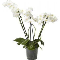 Phalaenopsis 4 grener til vinduskarmen Joko, Glass Vase, Green, Flowers, Plants, Home Decor, Decoration Home, Room Decor, Plant