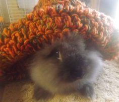 Super Friendly Lionhead Rabbits Pets