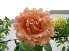 Polka - a large-flowered climber with ruffly apricot-colored flowers! LOVE!