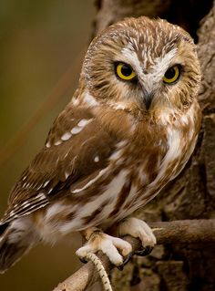 Saw-whet Owl | Flickr - Photo Sharing!