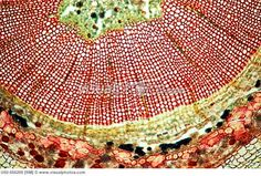 Ginkgo stem (cross section), Gymnosperm, xylem, phloem, pith, druses, 100 X  optical microscope, photomicrography , plant anatomy , botany