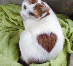 69 Valentine Cats with Fur Hearts Baby Animals, Cute Animals, Animals And Pets, I Love Cats, Cool Cats, Kittens Cutest, Cats And Kittens, Funny Cute Cats, Heart Pictures
