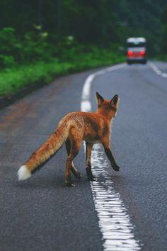The fox spots a vehicle. :O