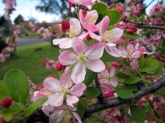 Image detail for -Crab Apple (flower ideas for tattoo)