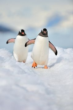 Gentoo Penguins- The long-tailed Gentoo penguin, Pygoscelis papua, is a penguin species in the genus Pygoscelis, most closely associated with the Adélie penguin and the Chinstrap penguin