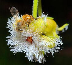 Flor carnívora - Carnivorous flower