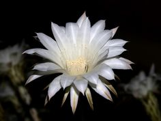 Night blooming cereus is a cactus that is native to Arizona and the Sonora Desert. Most can be grown as houseplants too. Get more information in this article and learn about this interesting cactus plant.