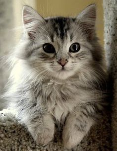 Siberian kitty.. pretty much the cutest thing ever! ( Don't tell my kitty)