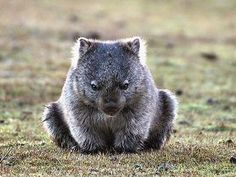 Le wombat est un marsupial herbivore Animals And Pets, Baby Animals, Funny Animals, Cute Animals, Wild Animals, Tasmania, Beautiful Creatures, Animals Beautiful, The Wombats