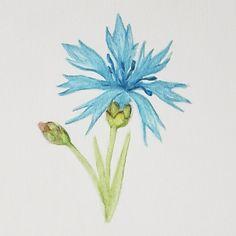 cornflower watercolor pencils