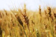 Srbija ljuta što Makedonija ograničava uvoz brašna i pšenice, prijeti istom mjerom - http://vesti.ritmovi.com/crna-gora/srbija-ljuta-sto-makedonija-ogranicava-uvoz-brasna-i-psenice-prijeti-istom-mjerom/