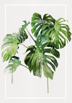 Image of Monstera cluster