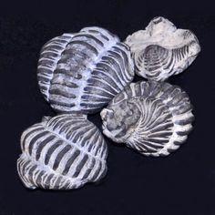 Calymenidae - Calymene niagarensis - Calymene niagarensis - Wikipedia, the free encyclopedia Fossils of Calymene niagarensis from Ohio, United States, on display at Galerie de paléontologie et d'anatomie comparée in Paris