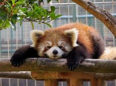 Sleepy red panda knows it's hard not to be cute but somebody's got to do it! Scary Animals, Cute Baby Animals, Funny Animals, Opossum, Panda Bear, Animal Drawings, Cute Puppies, Animal Pictures, Cute Babies