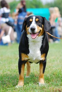 Appenzeller Sennenhund Dog Breeds With Picture