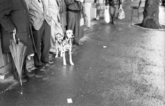 Dots #dalmatian #doggystlye #dalmatiner #rome #roma #pioggia #umbrella #busstop #BlackFriday #blackandwhite #photography @RemoFella #Copyright University Of Applied Sciences, Projekt Manager, Remo, Photoshop, Black Friday, Dogs, Photography, Painting, Animals