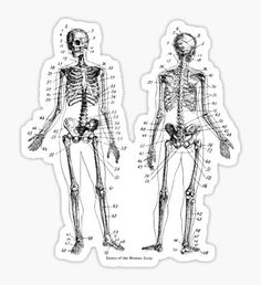 Anatomy: The Skeletal System Ver.Bone Sticker